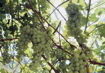 Lyman Estate. Grapes.