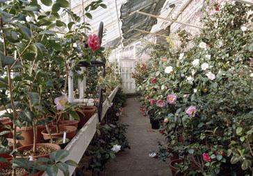Lyman Greenhouse Interior. Camellia House